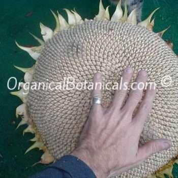 GIANT Mammoth Grey Stripe Sunflower Seeds