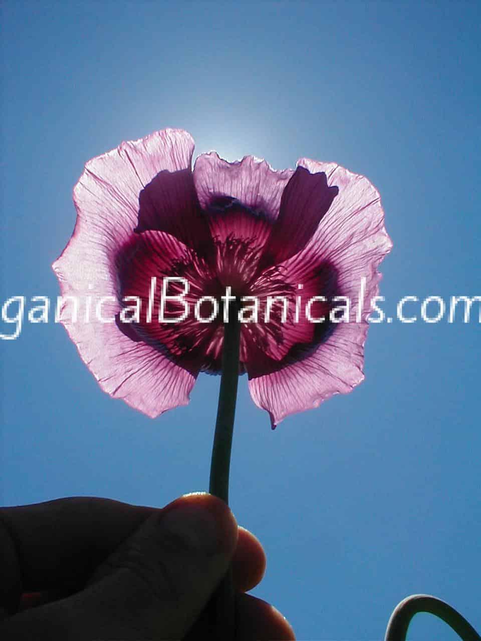 Persian Blue Somniferum Poppy