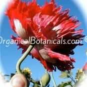 'Fire n Snow Peony' RED + WHITE Peony P. Somniferum Poppy Seed