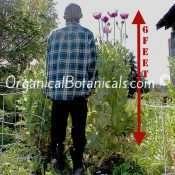 Giant Papaver Somniferum Poppy Flowers
