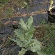 Papaver Somniferum Opium POPPY PRE-BLOOM STAGE by- OrganicalBotanicals_Com 1
