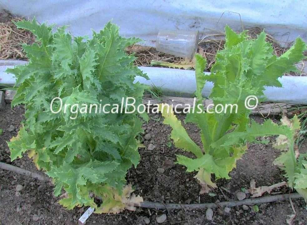 Papaver-Somniferum-Poppy-Cabbage-Stage