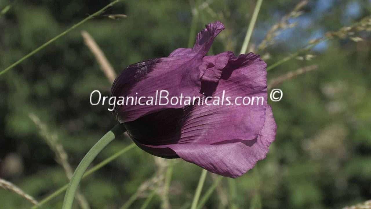 Blue Papaver Somniferum Poppy Flower