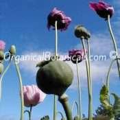 Persian-Blue-Somniferum-Poppy-10