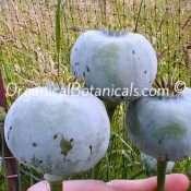 Persian-Blue-Somniferum-Poppy-13