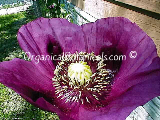 Persian Blue Somniferum Poppy Flower