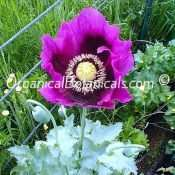 Blue Somniferum Poppy