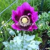 Persian-Blue-Somniferum-Poppy-7