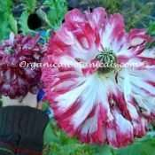'Pink Flemish Antique' Double Peony Somniferum Poppy Seeds