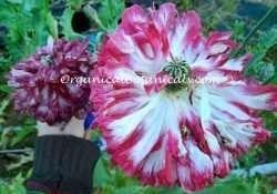 Pink Flemish Antique Double Peony Somniferum Poppy