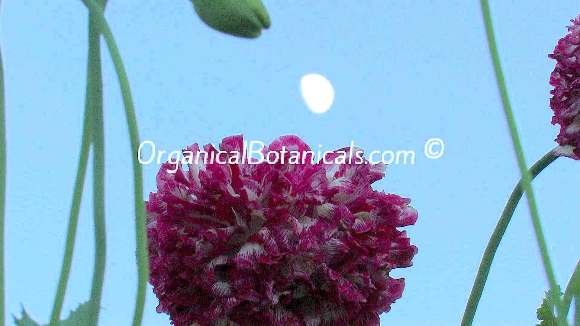 Pom Peony Feathered Fringed Somniferum Poppy Seeds