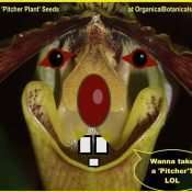 pitcher plant seeds organicalbotanicals