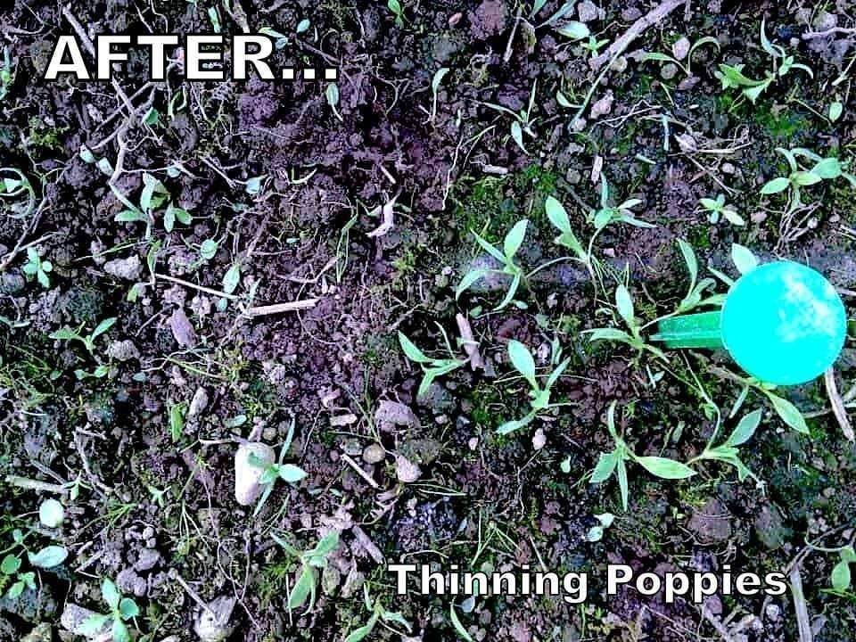 How to Properly THIN Poppy Sprouts