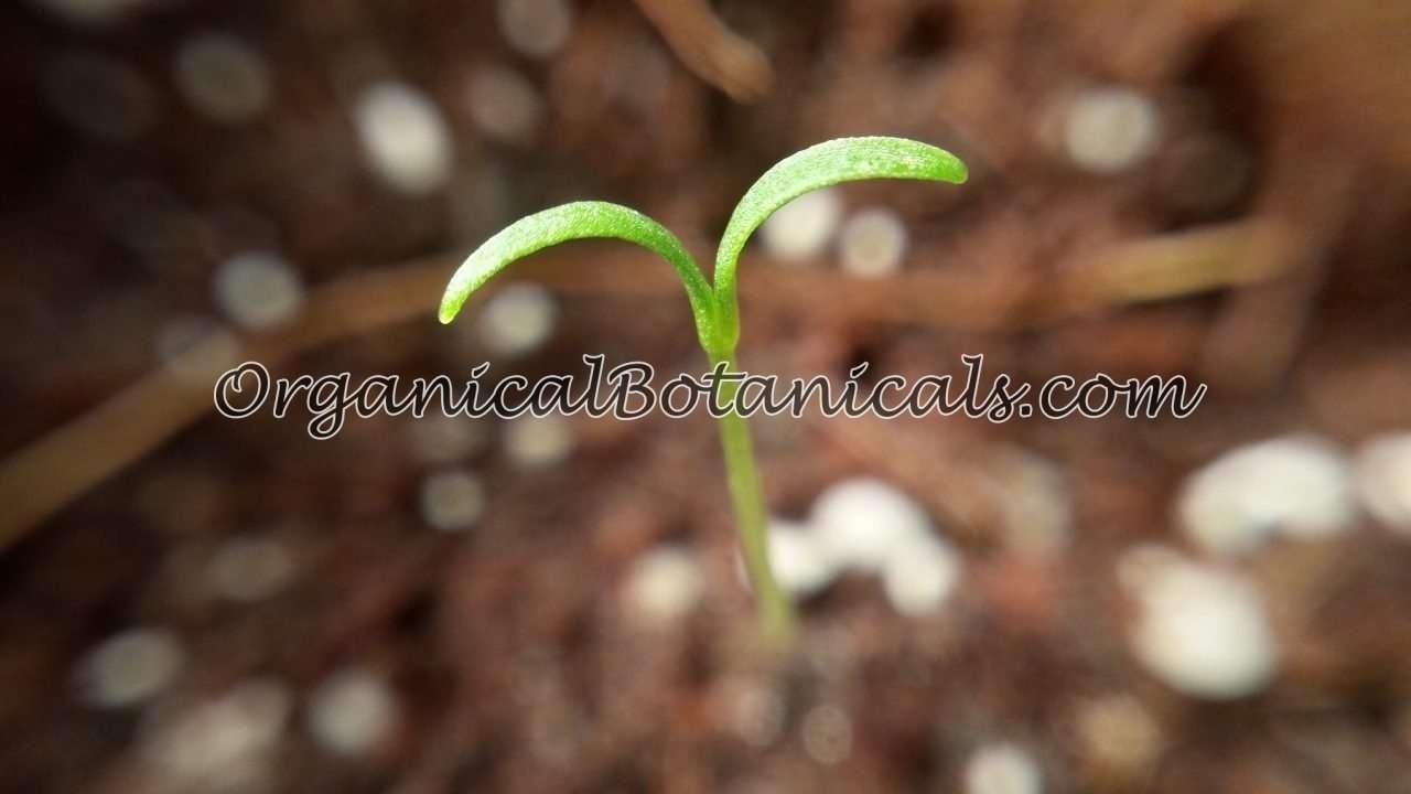 Poppy Sprout Papaver Somniferum LQ