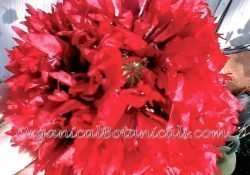 Red Peony PAPAVER SOMNIFERUM POPPY