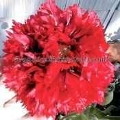 300 Red & Lavender Peony PAPAVER SOMNIFERUM POPPY SEEDS