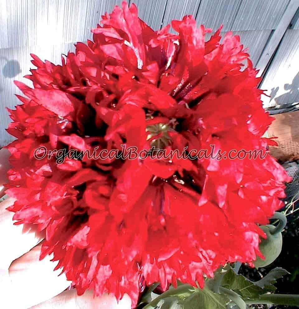 Red Peony PAPAVER SOMNIFERUM POPPY 2