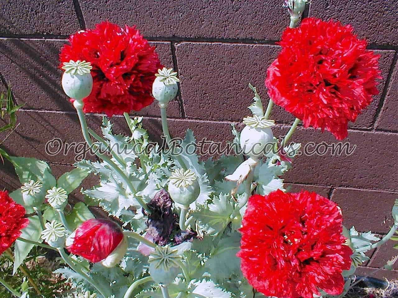 Red Peony PAPAVER SOMNIFERUM POPPY.JPG