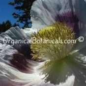Super Colossus Somniferum Poppy Seeds - HUGE GIANTS