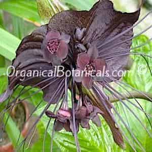 Tacca chantrierei Bat Plant