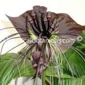 Black Bat Plant Seeds -RARE- Tacca Chantrieri Flower