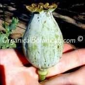 Tasmanian Papaver Somniferum Poppy Seed Pod