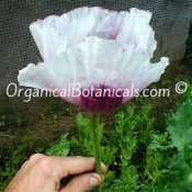Tazmanian Papaver Somniferum Organic Viable Poppy Seeds 2021