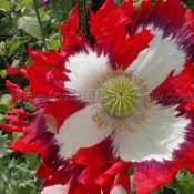 USA Flag Papaver somniferum Poppy