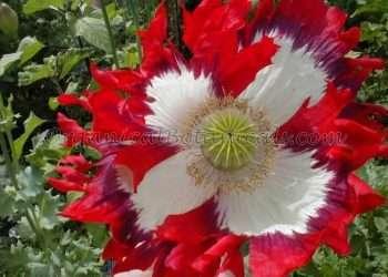 USA Flag Papaver somniferum Poppy