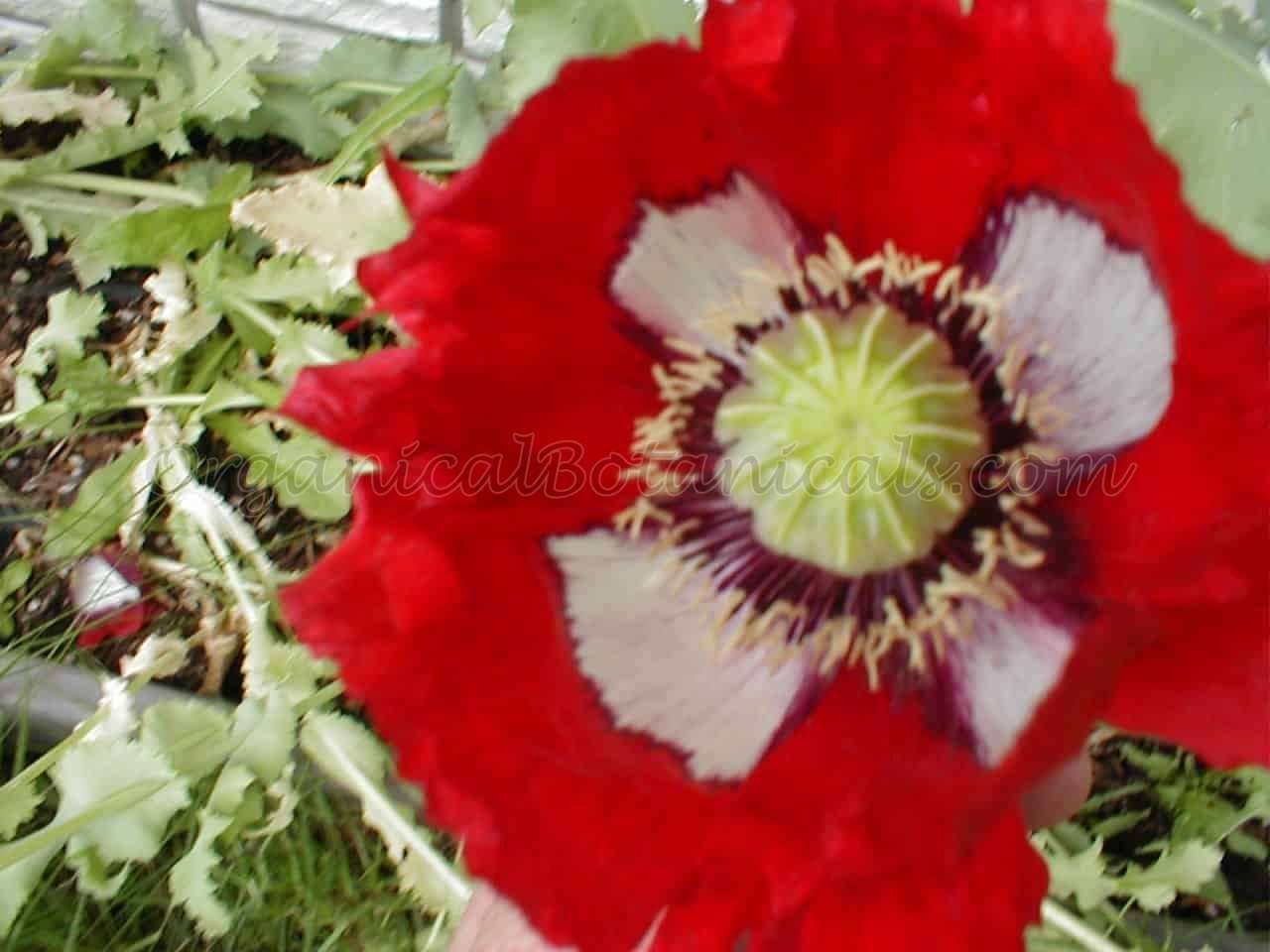 USA Flag RED White Blue papaver somniferum poppy flower | Seed by OrganicalBotanicals