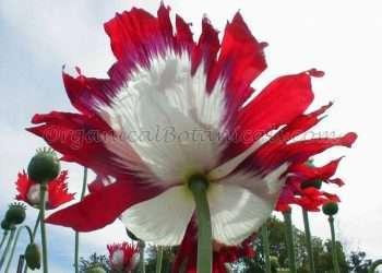 100+ 'USA Flag' P. Somniferum Poppy Seeds -Original