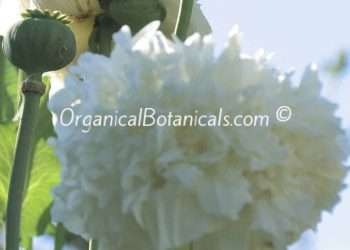 White Cloud Peony Somniferum Poppy Seeds