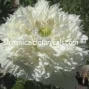 White Cloud Peony Somniferum Poppy Seeds