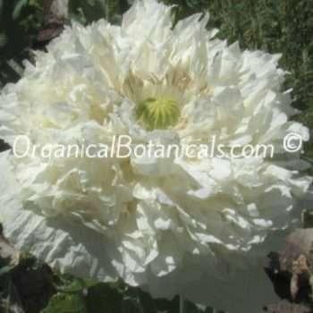 White-Cloud-Peony-Papaver-Somniferum-Poppies-4