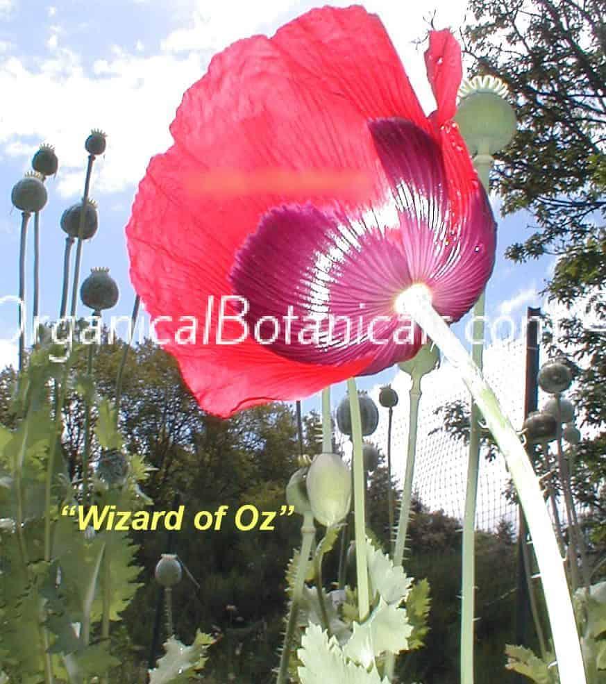 wizard of oz red papaver somniferum poppy seeds