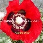 Wizard-of-Oz-Red-Papaver-Somniferum-Poppy-3