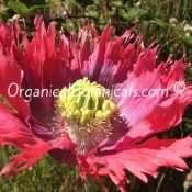 Hens and Chicks Poppies Papaver Somniferum Poppy FLOWER