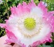 pink flamingo papaver somniferum poppy flower seeds