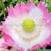 100+ 'Pink Flamingo' QUEENS PAPAVER SOMNIFERUM POPPY SEEDS NEW